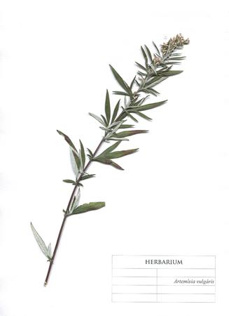 Chernobyl herb wormwood or artemisia vulgaris flowers and leaves. Herbarium Element
