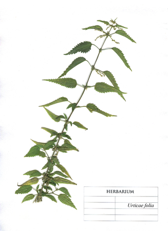 Nettle herd  medicinal and food plant. Herbarium Element Stock Photo