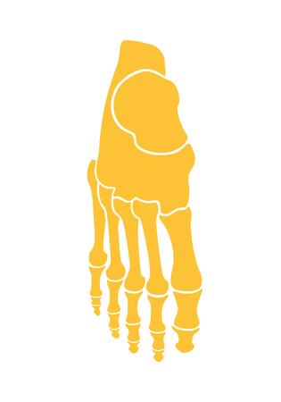 Skeleton foot. The bones of the foot man. Tarsus and fingers. Flat design Illustration