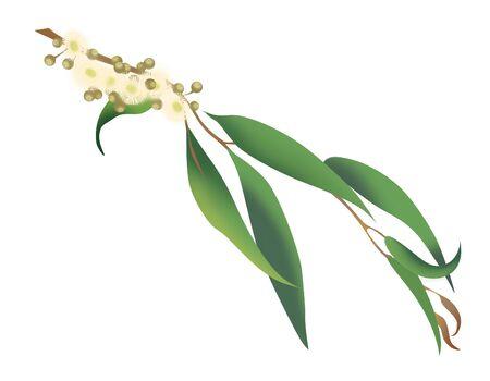 Branch of a flowering  Eucalyptus piperita, pepper eucalyptus, Eucalyptus radiata. Isolated on white background Reklamní fotografie