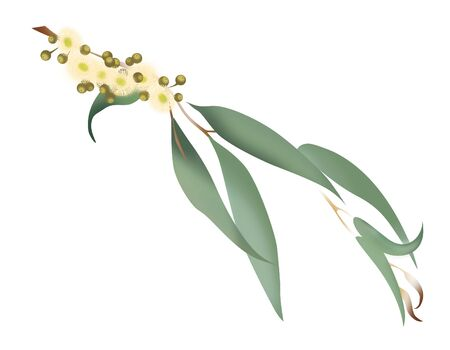 Branch of a flowering Eucalyptus albens, eucalyptus white. Isolated on white background