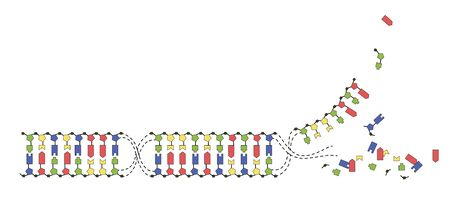 DNA strands of the genome. Sequence of double-stranded DNA nucleotide, phosphate, sugar and bases. Vector image on white background.