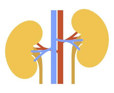 Human internal organs: kidneys and ureters. Vector image. Flat design
