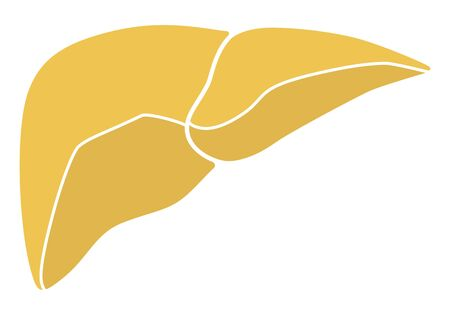 Human internal organs: liver. Flat design Stock Photo