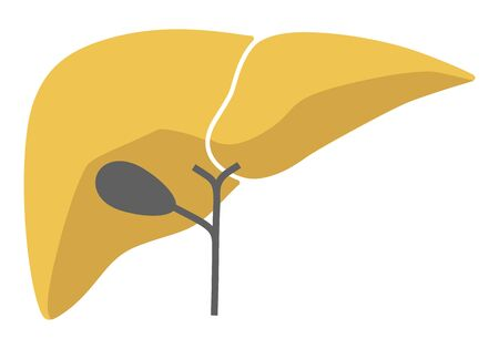 Human internal organs: liver and gall bladder.Flat design