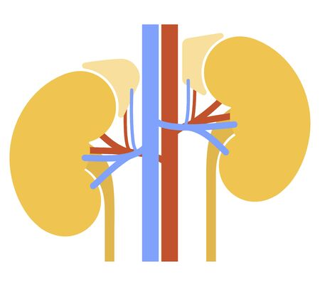 Human internal organs: kidneys, adrenal glands and ureters. Illustration.  Flat design