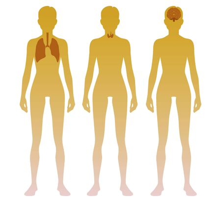 Woman silhouette with lung, thyroid and brain location on body. Illustration