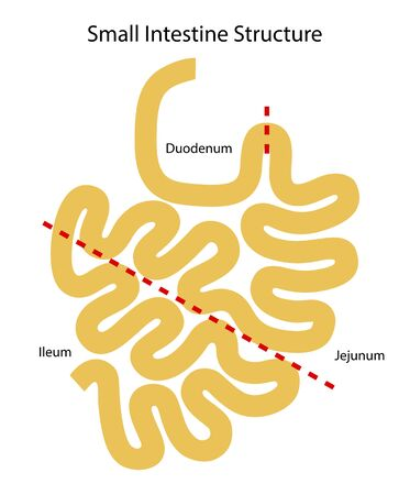 Human internal organs: small intestine structure - Ileum,  Jejunum, Duodenum . Illustration. Flat design.