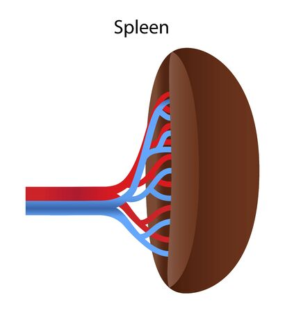 Human internal organs: spleen and its blood vessels. Illustration. Stock Photo