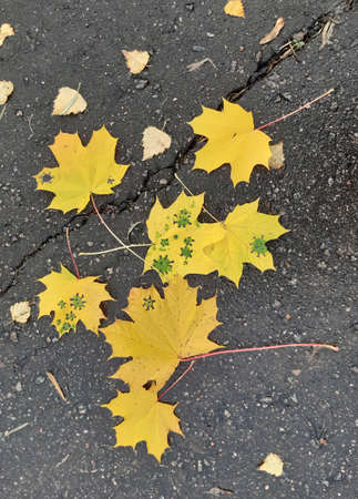 Coronavirus autumn. Yellow maple and birch leaf on wet asphalt. Virus. Influenza