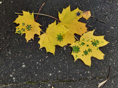 Coronavirus autumn. Yellow maple and birch leaf on wet asphalt. Virus.