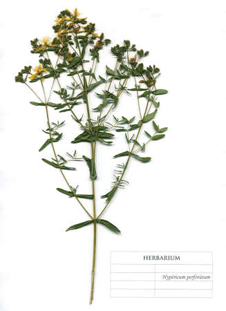 Hypericum perforatum medicinal plant flowers and leaves. Herbarium Element