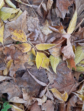 Autumn frost on the grass and fallen leaves of maple and ash Imagens