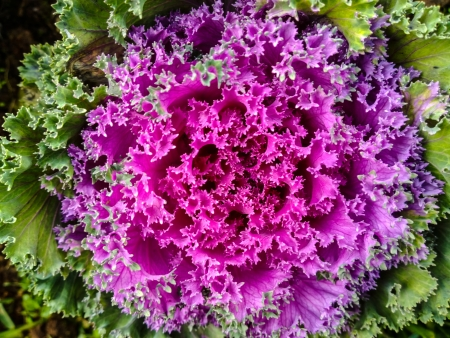 Head is purple cabbage growing in the garden photo