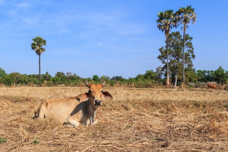 lineage: Thai cow relaxing in the field with blue sky