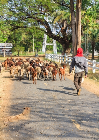 Worker herded goats into the stable