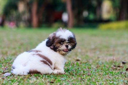Shih Tzu puppy sitting on green grass Stock Photo - 17999225