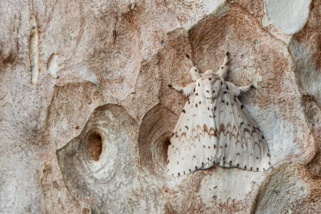 White moth hiding on tree bark Stock Photo