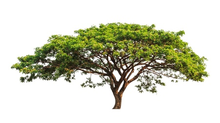 tropical evergreen forest: Rain tree (Samanea saman), tropical tree in the northeast of Thailand isolated on white background