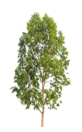 Eucalyptus tree, tropical tree in the northeast of Thailand isolated on white background photo
