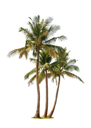 Three coconut palm trees isolated on white background photo