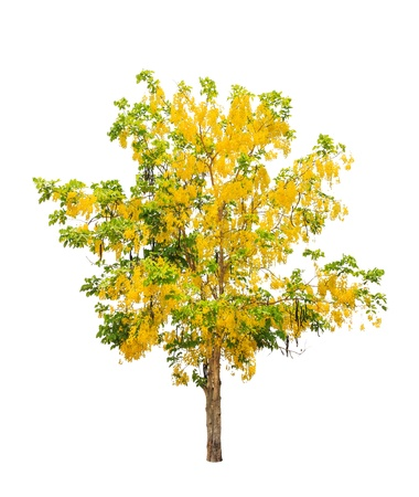 Golden shower tree (Cassia fistula), tropical tree in the northeast of Thailand isolated on white background photo