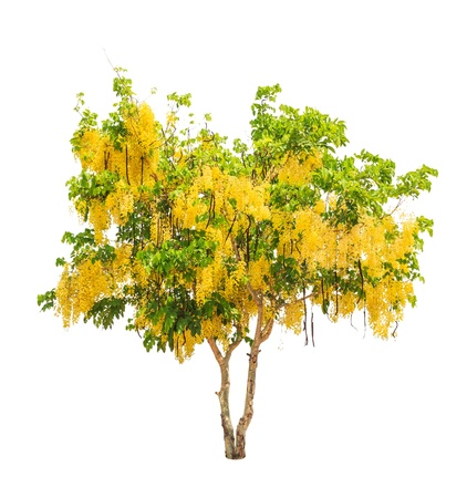 Golden shower tree (Cassia fistula), tropical tree in the northeast of Thailand isolated on white background Stock Photo