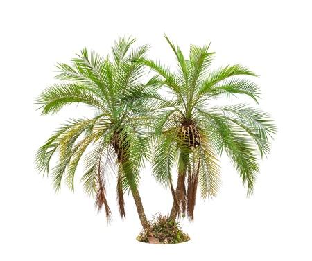 bark of palm tree: Palm tree isolated on white background