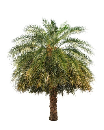 dactylifera: Date palm (Phoenix dactylifera), tropical tree in the northeast of Thailand isolated on white background