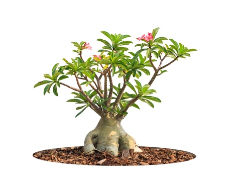 Adenium obesum tree also known as Desert Rose, Impala Lily, Mock Azalea, tropical tree in the northeast of Thailand isolated on white background photo
