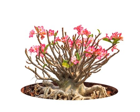 Adenium obesum tree also known as Desert Rose, Impala Lily, Mock Azalea, tropical tree in the northeast of Thailand isolated on white background Stock Photo - 18819476