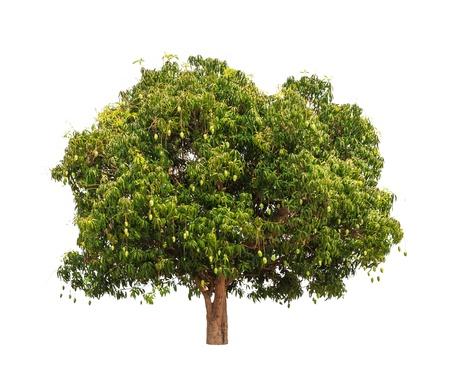 mango tree: Mango tree (Mangifera indica), tropical tree in the northeast of Thailand isolated on white background Stock Photo