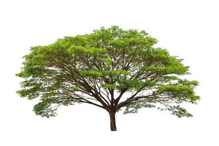 big tree: Rain tree (Samanea saman), tropical tree in the northeast of Thailand isolated on white background