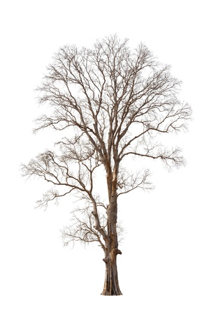 dead trees: Old and dead tree isolated on white background