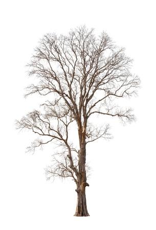 dode bladeren: Oude en dode boom geïsoleerd op witte achtergrond Stockfoto