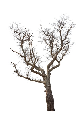 toter baum: Alte und abgestorbene Baum auf weißem Hintergrund