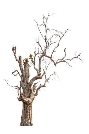 dode bladeren: Oude en dode boom op een witte achtergrond