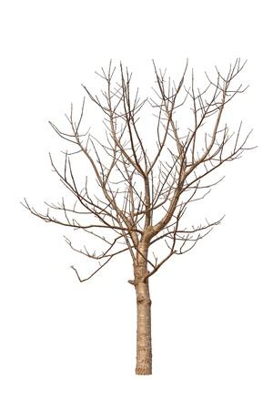 toter baum: Alte und abgestorbene Baum auf wei?em Hintergrund Lizenzfreie Bilder