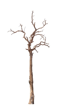 Old and dead tree isolated on white background photo