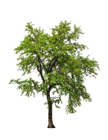 ebony tree: Ebony tree (Diospyios rhodcalyx), tropical tree in the northeast of Thailand isolated on white background Stock Photo