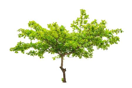 almond tree: Terminalia catappa also known as Tropical almond, Bengal almond, Indian almond, Sea almond, Beach almond, tropical tree in the northeast of Thailand isolated on white background Stock Photo