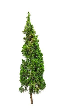 arbol de pino: Árbol de pino aislado en fondo blanco Foto de archivo