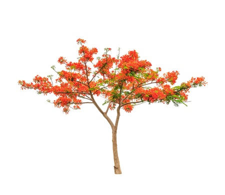 flamboyant: Royal Poinciana or Flamboyant tree  Delonix regia , tropical tree in the northeast of Thailand isolated on white background