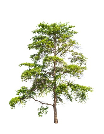 chinensis: Wild Cinchona tree  Anthocephalus chinensis , tropical tree in the northeast of Thailand isolated on white background Stock Photo