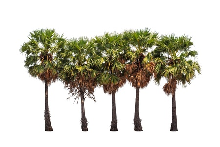 cambodian palm: Five borassus flabellifer trees, known by several common names, including Asian Palmyra palm, Toddy palm, Sugar palm, or Cambodian palm, tropical tree in the northeast of Thailand isolated on white background Stock Photo