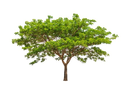 samanea saman: Rain tree  Samanea saman , tropical tree in the northeast of Thailand isolated on white background