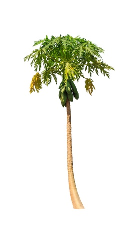 papaya tree: Papaya tree (Carica papaya) also known as Papayas, Papaw, Pawpaw, tropical tree in the northeast of Thailand isolated on white background Stock Photo