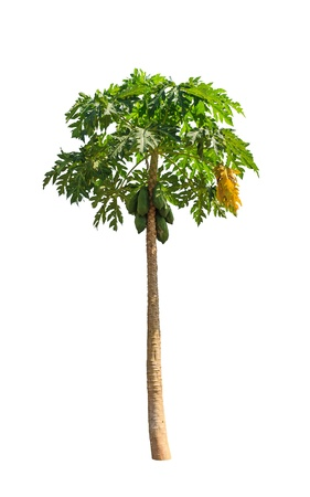 papaw: Papaya tree (Carica papaya) also known as Papayas, Papaw, Pawpaw, tropical tree in the northeast of Thailand isolated on white background Stock Photo