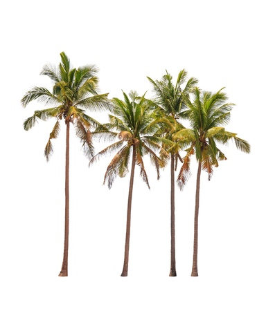 bark palm tree: Four coconut palm trees isolated on white background
