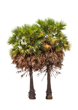 Two borassus flabellifer trees, known by several common names, including Asian Palmyra palm, Toddy palm, Sugar palm, or Cambodian palm, tropical tree in the northeast of Thailand isolated on white background photo